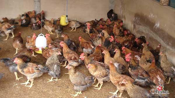 ky thuat nuoi ga nhot chuong it benh tat – hieu qua kinh te 1 - Kỹ thuật nuôi gà nhốt chuồng ít bệnh tật – hiệu quả kinh tế