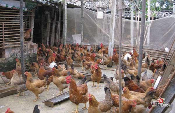 Chuồng nuôi gà được chuẩn bị kỹ càng