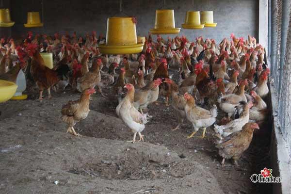 Thức ăn cho gà cần được vệ sinh sạch sẽ