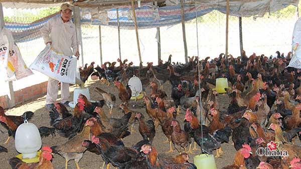 ky thuat nuoi ga nhot chuong it benh tat – hieu qua kinh te - Kỹ thuật nuôi gà nhốt chuồng ít bệnh tật – hiệu quả kinh tế