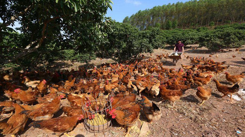 Kỹ thuật nuôi gà thịt và gà đẻ trứng thả vườn đem lại hiệu quả kinh tế cao