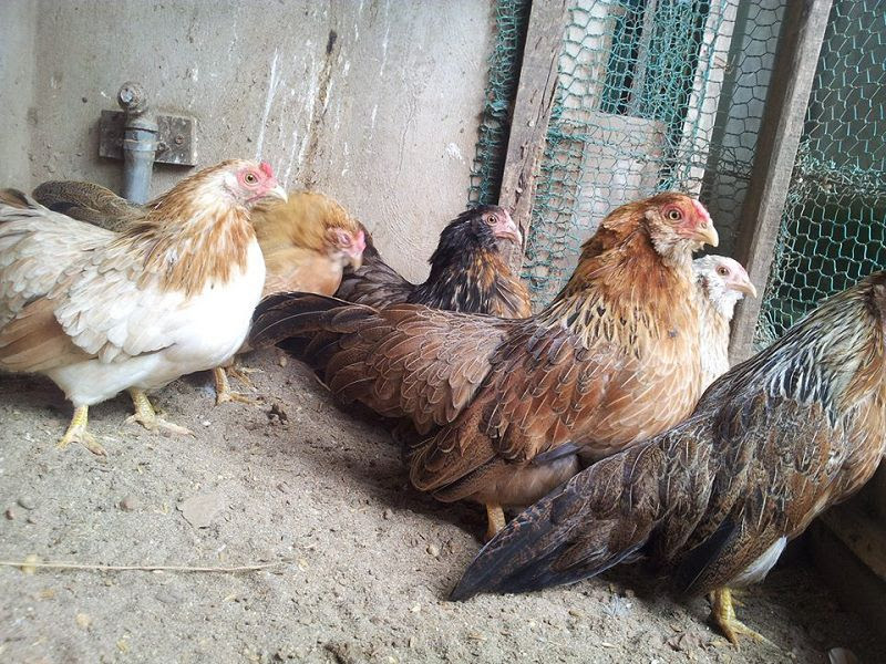 Cách nuôi gà tre thịt. Cách nuôi gà tre mái đẻ. Thức ăn cho gà tre