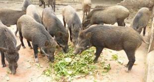 Kỹ thuật nuôi lợn rừng hiệu quả