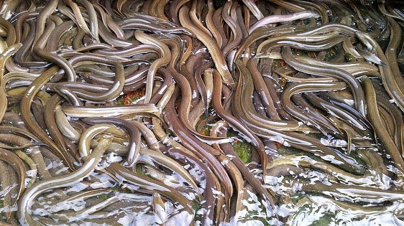 Kỹ thuật nuôi lươn