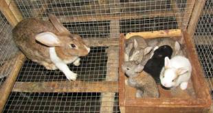 Kỹ thuật nuôi thỏ sinh sản. Cách nuôi thỏ con. Cách nuôi thỏ mẹ sau khi đẻ