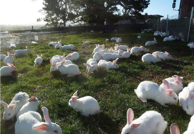 Kỹ thuật nuôi thỏ thả vườn. Thức ăn cho thỏ thả vườn