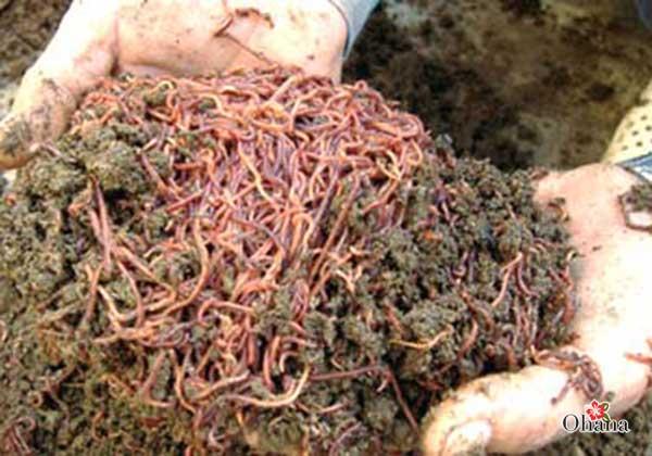 ky thuat nuoi trun que nang suat cao – nhanh duoc thu hoach - Kỹ thuật nuôi trùn quế năng suất cao – nhanh được thu hoạch