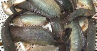 sản xuất giống cá rô đồng