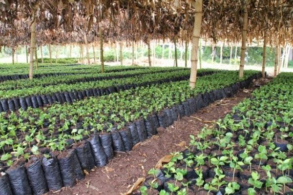 kỹ thuật trồng cà phê