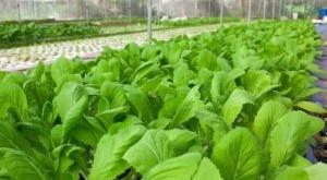 ky thuat trong cay cai xanh trong thung xop 300x165 - Kỹ thuật trồng cây cải xanh trong thùng xốp