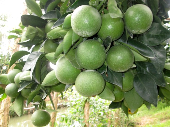 ky thuat trong cay cam xoan cho hieu qua kinh te cao 1 - Kỹ thuật trồng cây cam xoàn cho hiệu quả kinh tế cao
