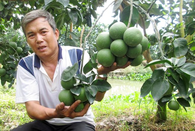 ky thuat trong cay cam xoan cho hieu qua kinh te cao 2 - Kỹ thuật trồng cây cam xoàn cho hiệu quả kinh tế cao