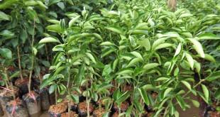 kỹ thuật trồng cây Cam Xoàn