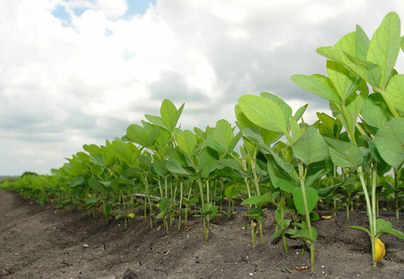 ky thuat trong cay dau tuong cho nang suat vuot troi 1 - Kỹ thuật trồng cây đậu tương cho năng suất vượt trội