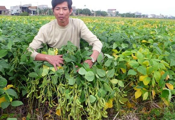 ky thuat trong cay dau tuong cho nang suat vuot troi 2 - Kỹ thuật trồng cây đậu tương cho năng suất vượt trội
