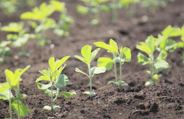 kỹ thuật trồng cây đậu tương