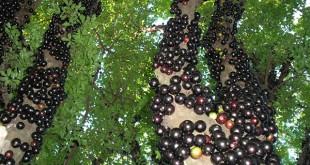 ky thuat trong cay nho than go cho qua sai tu goc len ngon 310x165 - Kỹ thuật trồng cây nho thân gỗ cho quả sai từ gốc lên ngọn