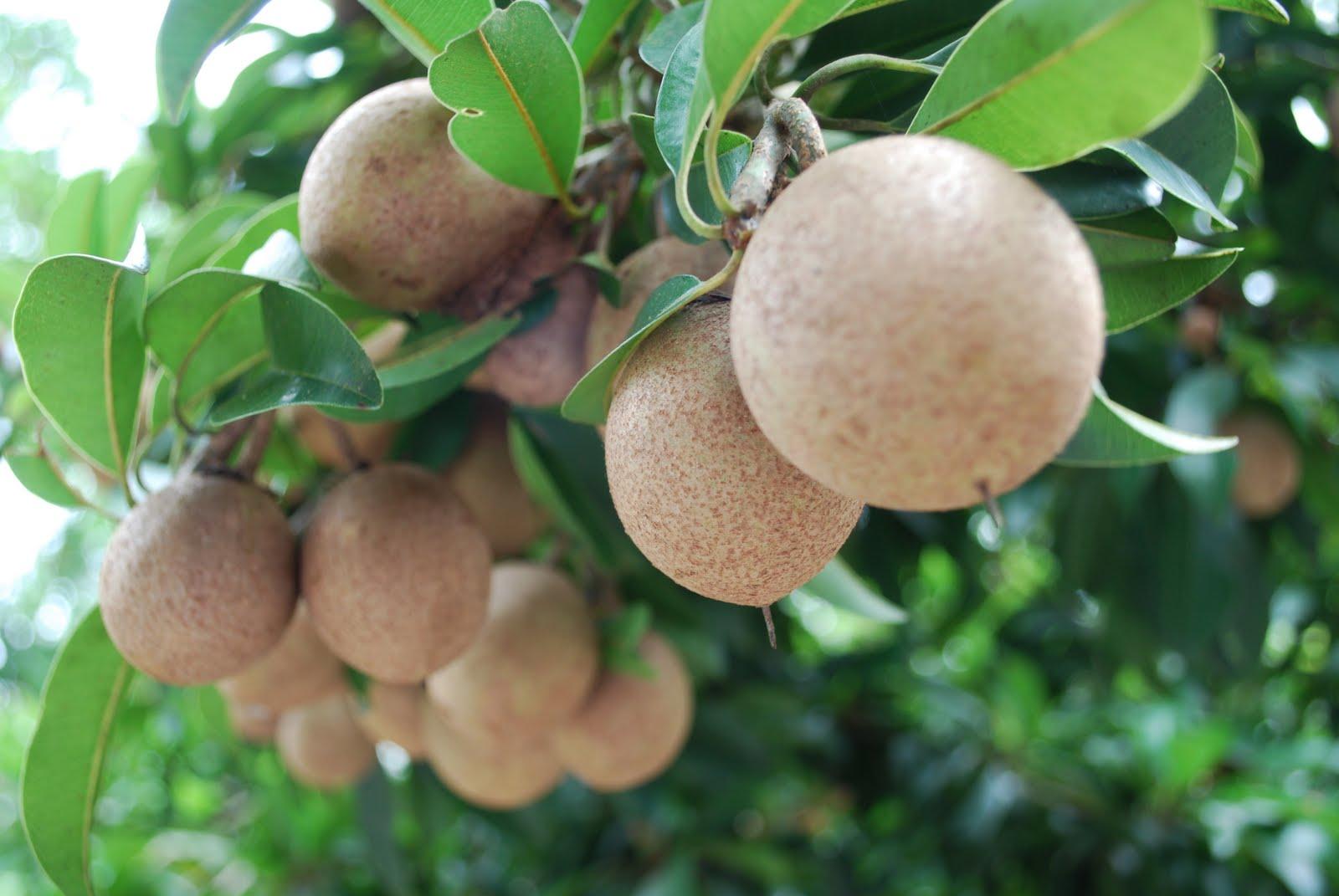 ky thuat trong cay sa po che cay hong xiem cho trai sai 1 - Kỹ thuật trồng cây sa-pô-chê cây hồng xiêm cho trái sai