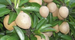 kỹ thuật trồng cây sa pô chê