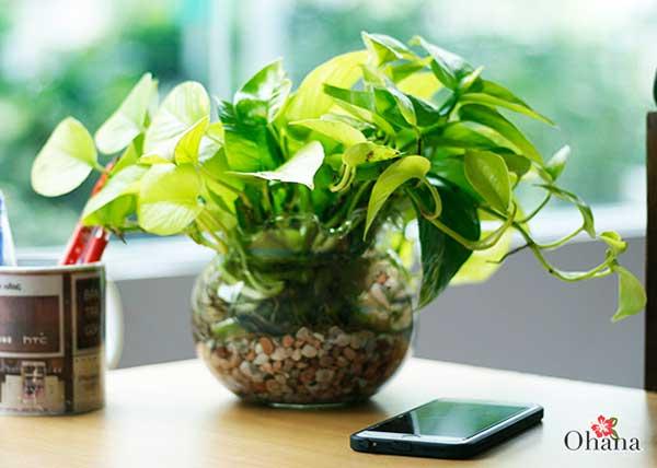 ky thuat trong cay trau ba xanh tot – mang tai loc vao nha 3 - Kỹ thuật trồng cây trầu bà xanh tốt – mang tài lộc vào nhà