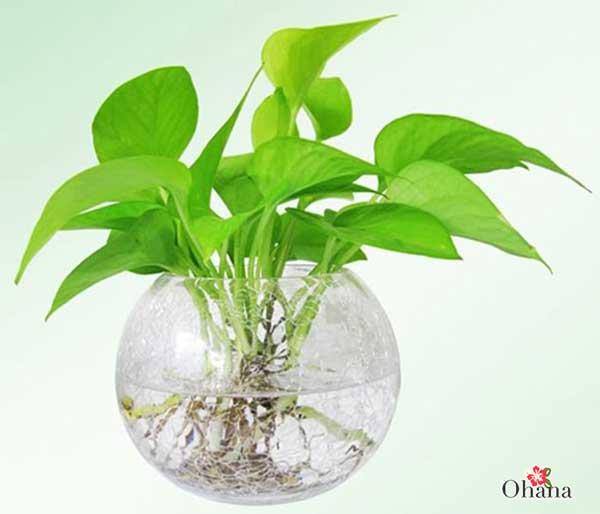 ky thuat trong cay trau ba xanh tot – mang tai loc vao nha 4 - Kỹ thuật trồng cây trầu bà xanh tốt – mang tài lộc vào nhà