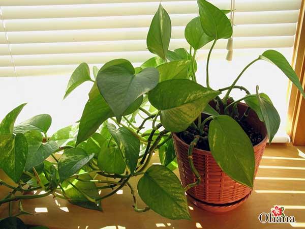 ky thuat trong cay trau ba xanh tot – mang tai loc vao nha 5 - Kỹ thuật trồng cây trầu bà xanh tốt – mang tài lộc vào nhà