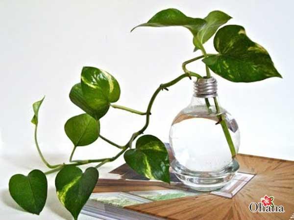 ky thuat trong cay trau ba xanh tot – mang tai loc vao nha 6 - Kỹ thuật trồng cây trầu bà xanh tốt – mang tài lộc vào nhà