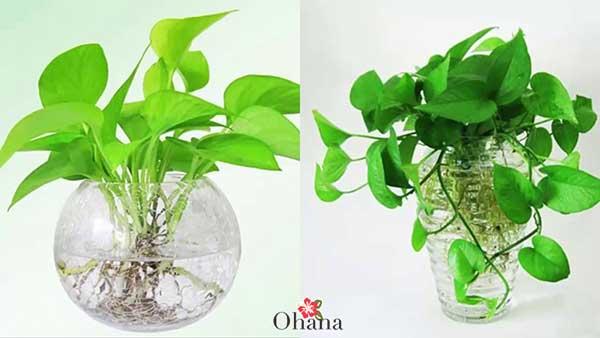 ky thuat trong cay trau ba xanh tot – mang tai loc vao nha 7 - Kỹ thuật trồng cây trầu bà xanh tốt – mang tài lộc vào nhà