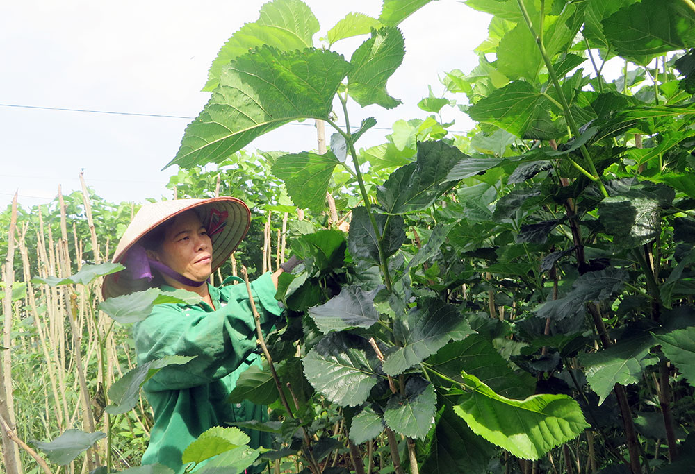 ky thuat trong dau nuoi tam mang lai hieu qua kinh te cao - Kỹ thuật trồng dâu nuôi tằm mang lại hiệu quả kinh tế cao