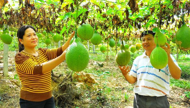 ky thuat trong gac cho ra nhieu trai 2 - Kỹ thuật trồng gấc cho ra nhiều trái