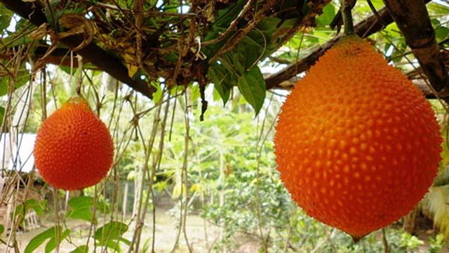 ky thuat trong gac cho ra nhieu trai - Kỹ thuật trồng gấc cho ra nhiều trái