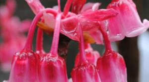ky thuat trong hoa dao chuong cho khong gian dep me hon 300x165 - Kỹ thuật trồng hoa Đào Chuông cho không gian đẹp mê hồn