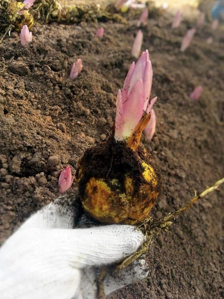 kỹ thuật trồng hoa ly