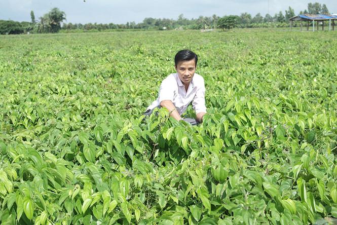ky thuat trong khoai mo mang lai hieu qua kinh te cao 2 - Kỹ thuật trồng khoai mỡ mang lại hiệu quả kinh tế cao