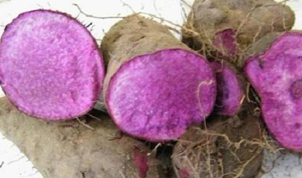 kỹ thuật trồng khoai mỡ