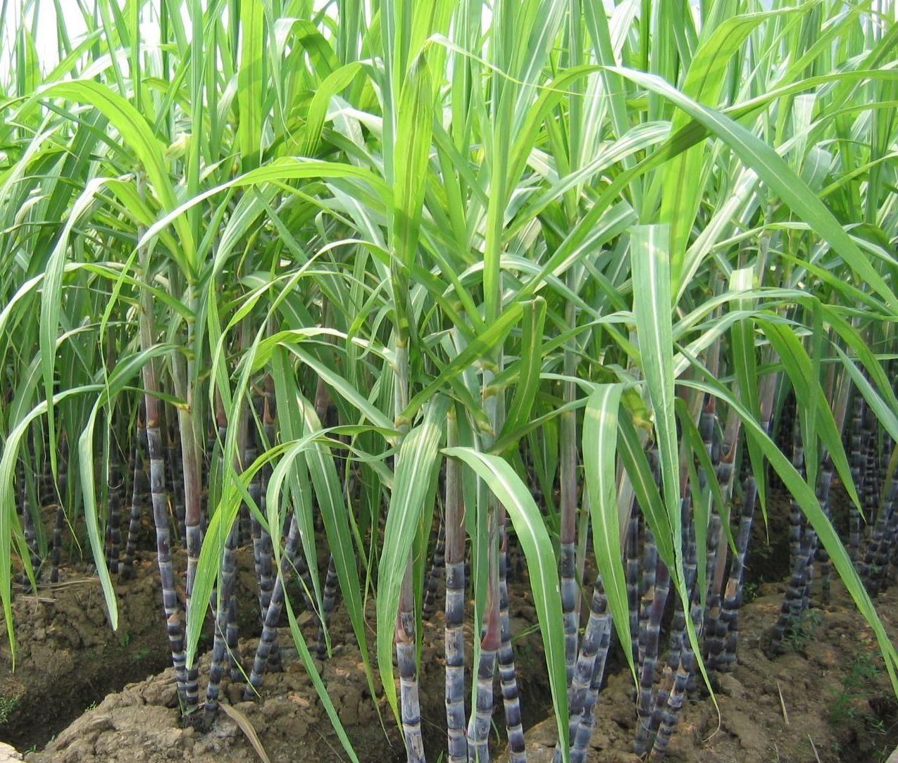 ky thuat trong mia de co nang suat cao trong vu thu hoach 1 - Kỹ thuật trồng mía để có năng suất cao trong vụ thu hoạch