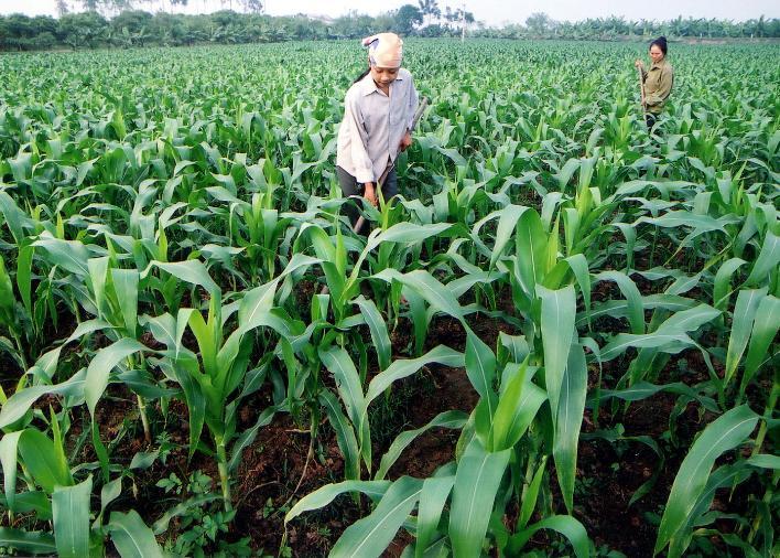 ky thuat trong ngo nep lai cho nang suat thu hoach cao 2 - Kỹ thuật trồng ngô nếp lai cho năng suất thu hoạch cao