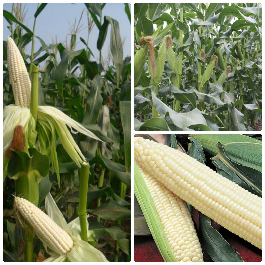 ky thuat trong ngo nep lai cho nang suat thu hoach cao 3 - Kỹ thuật trồng ngô nếp lai cho năng suất thu hoạch cao