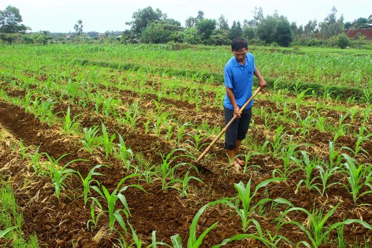 ky thuat trong ngo nep lai cho nang suat thu hoach cao - Kỹ thuật trồng ngô nếp lai cho năng suất thu hoạch cao
