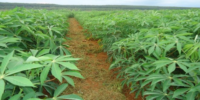 kỹ thuật trồng sắn