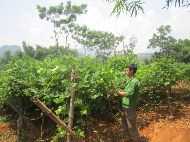 ky thuat trong san day loai cay khong ken dat de trong 1 - Kỹ thuật trồng sắn dây loại cây không kén đất dễ trồng