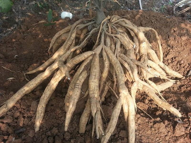 ky thuat trong san day loai cay khong ken dat de trong 2 - Kỹ thuật trồng sắn dây loại cây không kén đất dễ trồng