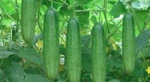 ky thuat trong va cham soc cay dua chuot tai nha 300x165 - Kỹ thuật trồng và chăm sóc cây dưa chuột tại nhà