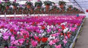ky thuat trong va cham soc cay hoa anh thao dep 300x165 - Kỹ thuật trồng và chăm sóc cây hoa anh thảo đẹp