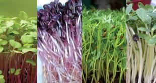 Kỹ thuật trồng và chăm sóc cây rau mầm sạch