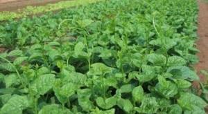 ky thuat trong va cham soc cay rau mong toi 300x165 - Kỹ thuật trồng và chăm sóc cây rau mồng tơi