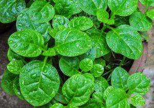 ky thuat trong va cham soc cay rau mong toi 6 - Kỹ thuật trồng và chăm sóc cây rau mồng tơi