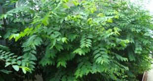 ky thuat trong va cham soc cay rau ngot trong vuon 310x165 - Kỹ thuật trồng và chăm sóc cây rau ngót trong vườn