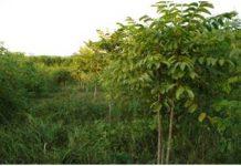 Kỹ thuật trồng và chăm sóc cây trám đen