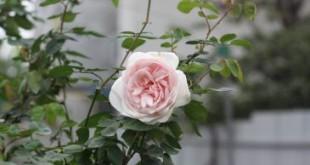 ky thuat trong va cham soc hoa hong dao co 310x165 - Kỹ thuật trồng và chăm sóc hoa hồng đào cổ